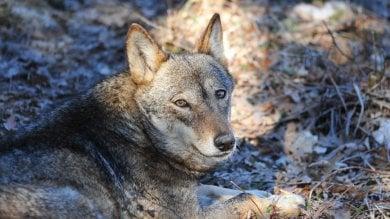 """Attenti al lupo: è tornato e fa paura.  Nel Parco d'Abruzzo: """"Così lo salveremo"""""""