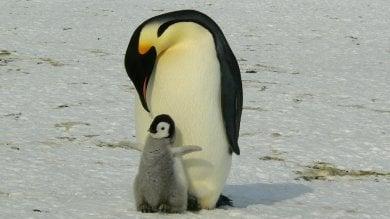 """Salvate il pinguino imperatore:  """"Rischio estinzione entro il 2100"""""""