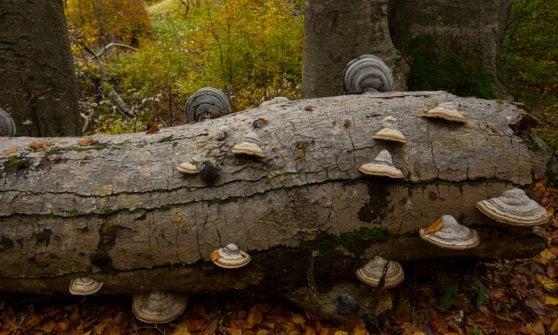 Un premio a quegli alberi di 600 anni: le faggete vetuste italiane sono Patrimonio dell'Umanità