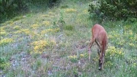 """Avvistato l'unicorno dei monti Sibillini: """"È un giovane capriolo con una mutazione"""""""
