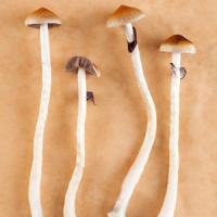 Usa, funghi allucinogeni a un gruppo di religiosi per studiare il viaggio mistico