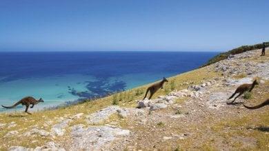 Dall'ultima ape ligure ai koala Kangaroo Island, intruso è l'uomo