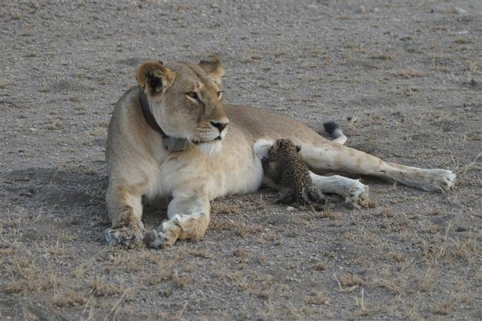 Tanzania, la natura stupisce: leonessa allatta il cucciolo di leopardo