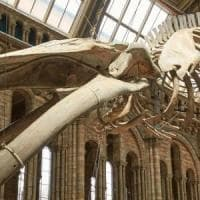 National History Museum di Londra, una balena azzurra al posto del dinosauro Dippy