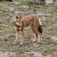 In cinque secoli i grandi carnivori hanno perso fino al 90% dei territori di caccia