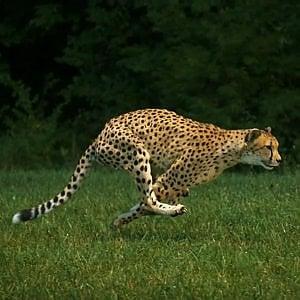 Topolini, ghepardi e dinosauri. Ecco il segreto della velocità fra gli animali