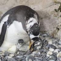 A Genova primo pulcino Pinguino Papua, in acqua tra due mesi