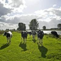 L'esperimento irlandese: alghe marine alle mucche per salvare il pianeta