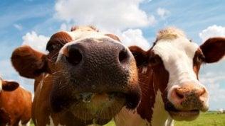 L'esperimento irlandese: alghe alle mucche per salvare il pianeta