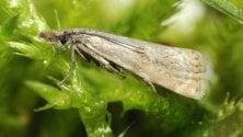 Rara farfalla ''torna''  sul Sella dopo 110 anni