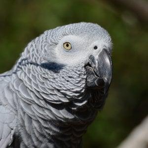 Usa, donna condannata per l'omicidio del marito: la inchioda la testimonianza del pappagallo
