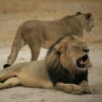 """Zimbabwe, ucciso Xanda: era il figlio di Cecil. """"Ora basta, i leoni siano patrimonio..."""