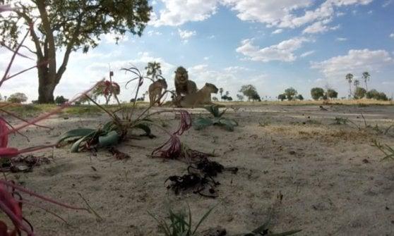 """Zimbabwe, ucciso Xanda: era il figlio di Cecil. """"Ora basta, i leoni siano patrimonio umanità"""""""
