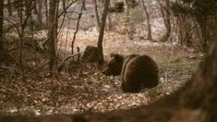 'Ordine di cattura' per l'orso che ha aggredito l'escursionista
