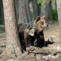 """Ferito da orso in Trentino, emesso ordine di cattura. Lega: """"Abbattere quelli pericolosi"""""""