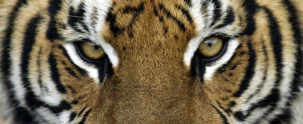 """Un giorno da tigre per aiutare i ranger. """"Solo quattromila così le salveremo"""""""