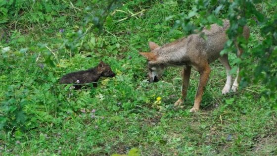 """Parco nazionale d'Abruzzo, i cinque cuccioli di lupo """"uccisi da un altro animale"""""""