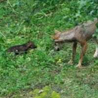 Parco nazionale d'Abruzzo, i cinque cuccioli di lupo