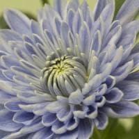 Il primo crisantemo blu sbocciato in Giappone grazie a due geni