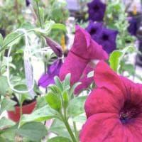 Non solo crisantemi blu. Bouquet modificati e fiori che cambiano colore