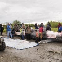 Alaska, balena fuori rotta uccisa e divisa tra villaggi.