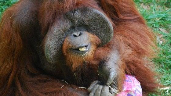 """Addio a Chantek, l'orango """"che andò al college"""" e imparò la lingua dei segni"""