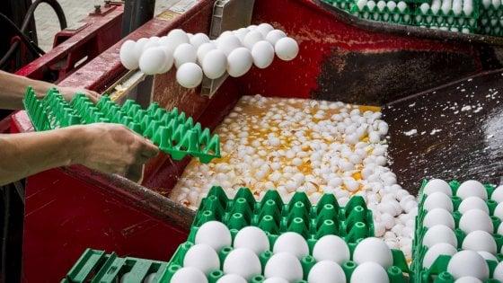 Uova contaminate, perquisizioni in Belgio e Olanda: due arresti. E interviene la Commissione Ue