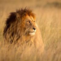 Giornata mondiale del leone, ma il re della savana è a rischio