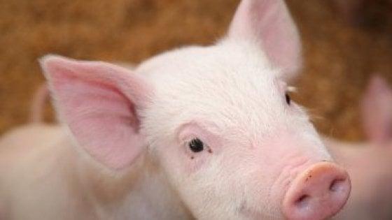 Taglia-incolla del Dna apre la strada a trapianti di organi da maiali