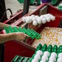 Uova contaminate, rischi solo se se ne mangiano in quantità enormi