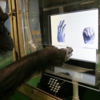 Le scimmie sanno giocare a morra cinese. E capiscono chi vince
