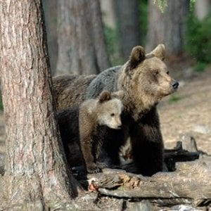 Trentino, uccisa l'orsa KJ2: aveva aggredito un uomo. Protestano gli animalisti