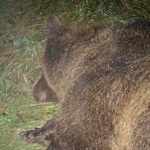 """Orsa uccisa, animalisti in rivolta contro la Provincia: """"Saremo il vostro incubo"""""""