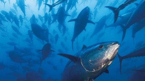 Microplastica: quel profumo di cibo che inganna i pesci