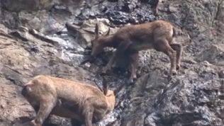 Prova di scalata per i cuccioli di camoscio sulla parete rocciosa