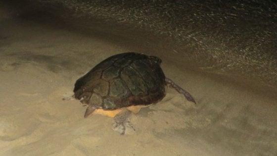 Aperto nido record di tartarughe Caretta caretta: 116 uova