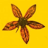 Ritrovati fiori nell'ambra di 100 milioni di anni: un regalo lasciato dai dinosauri