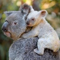Australia, nato raro koala bianco allo zoo