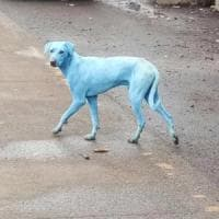 India, i cani diventano blu. Chiusa l'azienda che scaricava rifiuti nel fiume