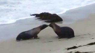 Un bacio prima di partire: la gioia dei leoni marini liberati
