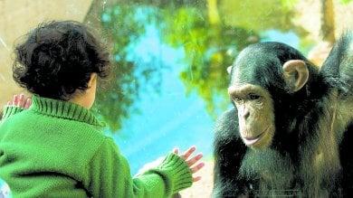 Esseri umani e scimpanzé   l'irresistibile gara a imitarsi