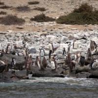 La scelta green del Cile: stop alla miniera per salvare i pinguini