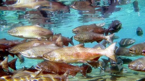 """""""Fuggiti dalle reti a causa dell'eclissi"""". Migliaia di salmoni atlantici finiscono nel Pacifico"""
