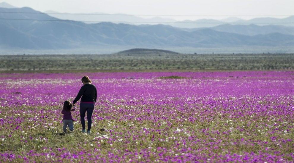 Cile: la fioritura eccezionale nel deserto di Atacama, uno dei più aridi al mondo