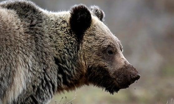 Yellowstone. Se il parco di Yoghi riapre la caccia all'orso