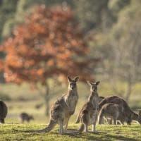 Australia, i canguri sono il doppio degli abitanti.