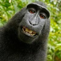 """Usa, il copyright sul """"selfie della scimmia"""" è del fotografo"""