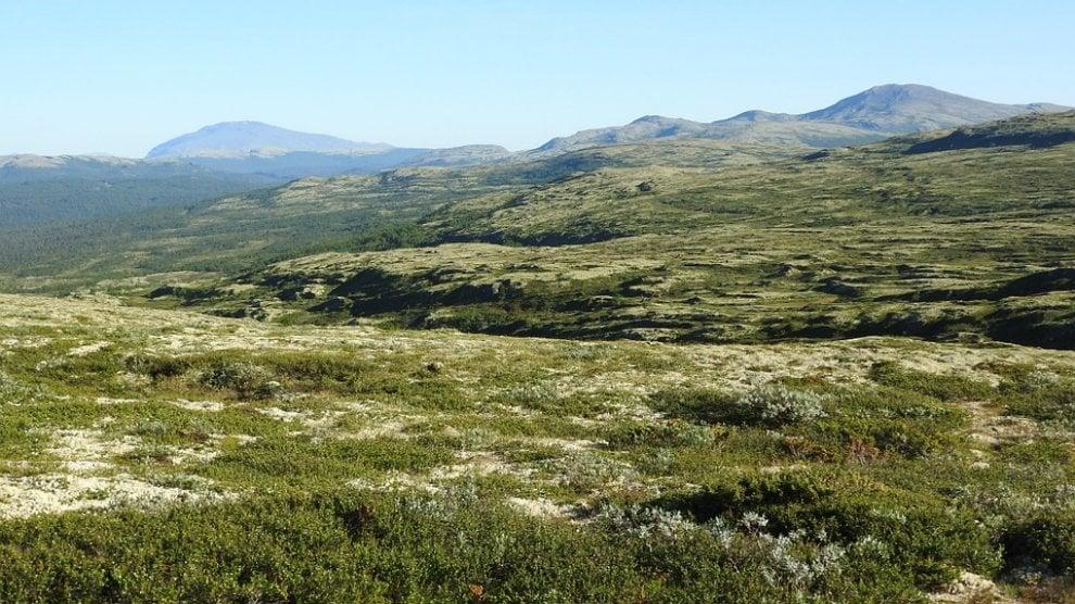 Nane e giganti, piccole betulle d'Islanda crescono