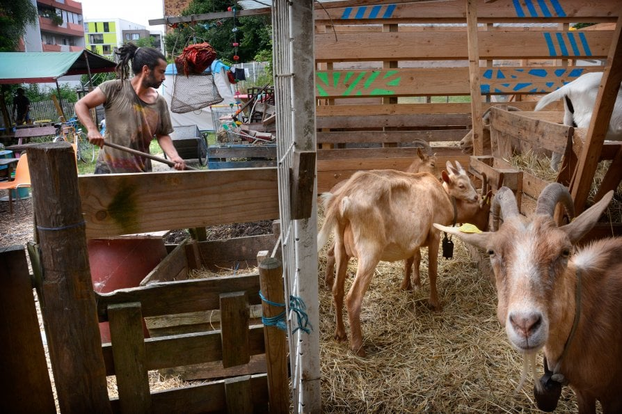 """Le capre di Gilles, pastore di città: """"Ai parigini porto latte e un sorriso"""""""