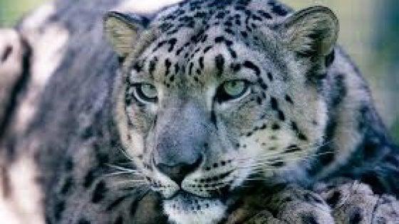Il leopardo delle nevi non rischia più l'estinzione. Ma è allarme per insetti, antilopi e frassini